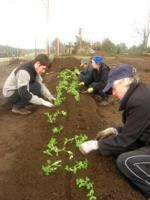 first-veggies-planting-peas1