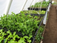starts-in-the-greenhouse