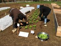 harvesting-bok-choi