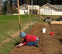 planting-peas-north-fence1