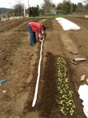 planting-spinach-row-all-done