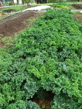 harvest kale2 may09