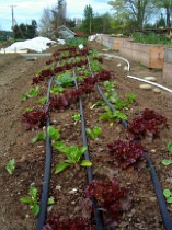 irrigation-rows-of-t-tape-in-lettuce