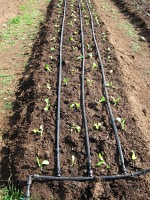 irrigation t-tape rows