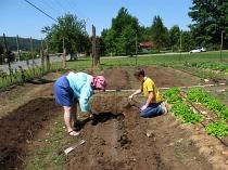 beets planting