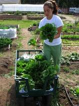 lettuce harvest mosa 1june09