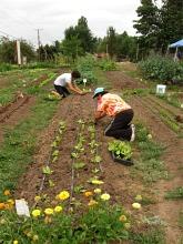 planting lettuce aug09