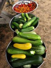 zucchini tomato harvest aug09