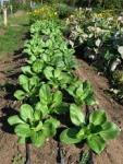 bok choi fall crop