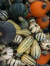 squash and pumpkin harvest fall09
