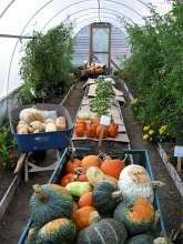 squash and pumpkins in greenhouse