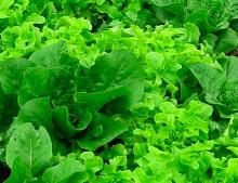 lettuce1a_7158