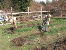 bayview garden turn cover crops_4202