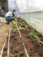 tomato starts planting hoophouse_5091