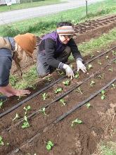 bok choi planting april_4918