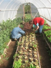 hoophouse harvesting lettuce_5009