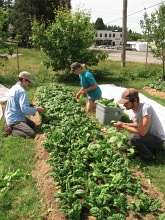 spinach harvest_5480