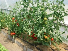 tomatoes hoophouse july1