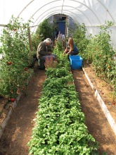 basil harvesting hoophouse_1446