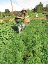 carrots august harvesting anne_1452