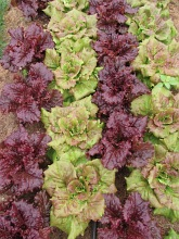 lettuce end august_1402