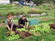 lettuce harvest camille jack september_0282