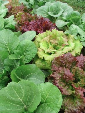 lettuce bokchoi_1512