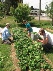 spinach harvesting_5480