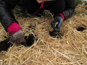 wellington planting garlic1_0427