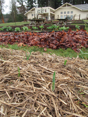 garlic growing january_3105