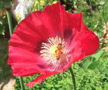 bee in poppy2_9307