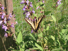 butterfly sage1_8593