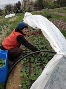 cheryl harvesting spinach