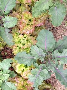 field lettuce and kale