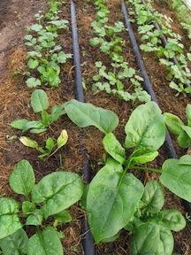 spinach and cilantro