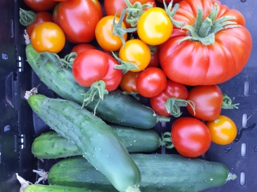 Cukes and Tomatoes: great sandwich fixins.