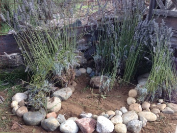 Transplanted lavender at the Bayview Garden.