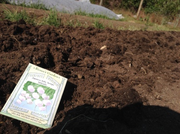 Planting Mikado turnips at the Bayview Garden.