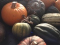 Picturesque winter squash in fall sunlight.