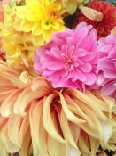 Dahlias, up close.