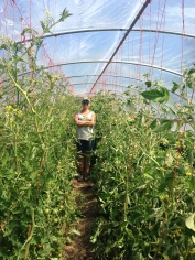 3 months later, very tall tomatoes in the same hoop house!
