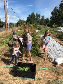 Volunteers help pick beans